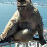 GibraltarAffe2-150x150 in Atlantiküberquerung